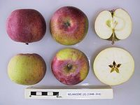 Cross section of Beurriere, National Fruit Collection (acc. 1948-316).jpg