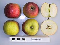 Cross section of Garden Royal, National Fruit Collection (acc. 1951-279).jpg