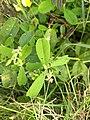 Crotalaria,rattlepods,കിലുക്കാം ചെടി. Leaf .jpg