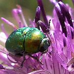 The leaf beetle Cryptocephalus sericeus on Greater Knapweed, Centaurea scabiosa
