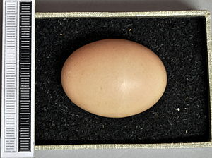 Pale-browed tinamou - Egg, Collection Museum Wiesbaden