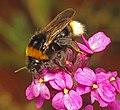Cuckoo Bumblebee - Flickr - Martin Cooper Ipswich.jpg