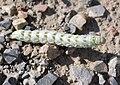 Cucullia chamomillae - Burgenland.jpg