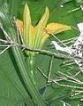 "Cucurbita argyrosperma ""calabaza rayada o cordobesa"" (Florensa) flor femenina F02 antesis Cucurbita maxima ""zapallo plomo"" (Costanzi temp2) flor F09 antesis dia00 creo (flor arg).JPG"