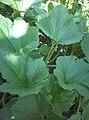 Cucurbitales - Cucurbita pepo - 8.jpg