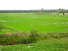 Cuddalore district paddy fields.jpg