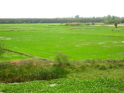 Paddy cultivation between Chidambaram and Puducherry