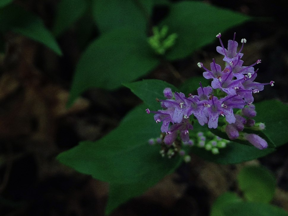 Cunila origanoides - Wild Dittany