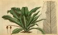 Curtis's Botanical Magazine, Plate 3101 (Volume 58, 1831).png