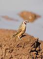 Cut-throat finch, Amadina fasciata at Mapungubwe National Park, Limpopo, South Africa (album includes copulating pair) (17679229160).jpg