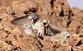 Cut-throat finch, Amadina fasciata at Mapungubwe National Park, Limpopo, South Africa (album includes copulating pair) (17680493819).jpg