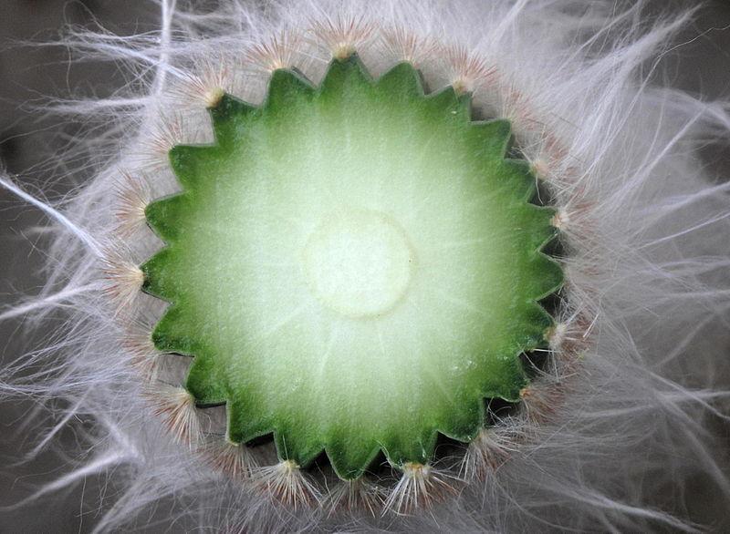 Fotografije kaktusa - Page 9 800px-Cut_Cereus_%28brightened%29