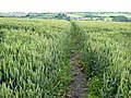 Cut path through field of wheat - geograph.org.uk - 486537.jpg