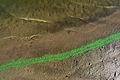 Cyanobacteria WashMargin.jpg