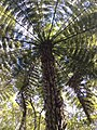 Cyathea dealbata Ponga Puketi Forest Trail NZ 1.JPG