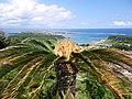Cycas revoluta in Shinugu-do Cliff 02.JPG