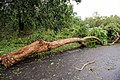 Cyclone Marcus in Darwin – Uprooted tree in Stuart Park 01.jpg