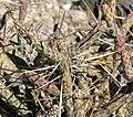 Cylindropuntia ramosissima 10.jpg