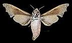 Cypa decolor MHNT CUT 2010 0 219 Sanpatang Chiang Mai Thailand female ventral.jpg