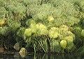 Cyperus papyrus-pjt2.jpg