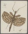 Cyphocrania - Print - Iconographia Zoologica - Special Collections University of Amsterdam - UBAINV0274 065 04 0012A.tif