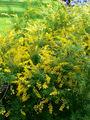 Cytisus x spachianus2.jpg