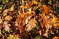 Dülmen, Börnste, Herbstlaub -- 2020 -- 3561.jpg