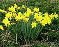Daffodils blooming.jpg