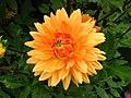 Dahlia hybr. (orange cultivar) 01.jpg