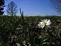 Daisy - panoramio - fabiolah.jpg