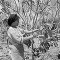 Daliya al-Carmel. Een druzische vrouw bij een struik, Bestanddeelnr 255-2672.jpg