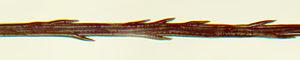 Taraxacum - Segment of pappus fiber showing barbs