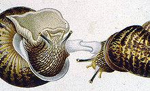 Les Gastéropodes dans ESCARGOT 220px-Dards-escargots