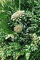 Daucus carota ssp gummifer 2.jpg