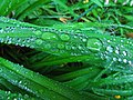 Daylily Leaves With Rain Drops (9158778039).jpg