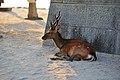 Deer - panoramio (3).jpg