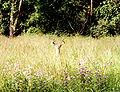 Deer in hartman reserve prairie.jpg