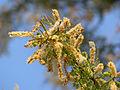 Delagoa Thorn (Acacia welwitschii) (11451465826).jpg
