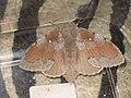 Dendrolimus pini ♀ - Pine-tree lappet (female) - Сосновый шелкопряд (самка) (40111728035).jpg