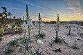 Desert Lily Preserve Calif.jpg
