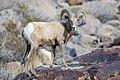 Desert bighorn (Ovis canadensis), Borrego Palm Canyon (24297126935).jpg
