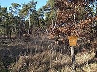 Dessau-Roßlau, natural monument Diederings Fichten.JPG