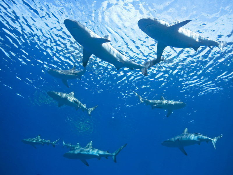 Dharavandhoo Thila - Hanifaru Bay Sharks.jpg