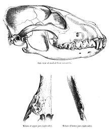 Teschio e molari, illustrazione di St. George Mivart (1890).