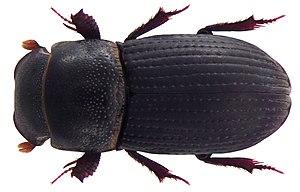 Aphodiinae - Image: Dialytes monstrosus Harold, 1877 (4989956104)
