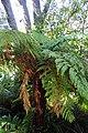 Dicksonia squarrosa kz06.jpg