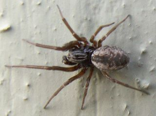 <i>Dictyna</i> Genus of spiders