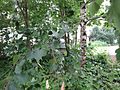 Die Birke - panoramio.jpg