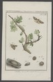 Diloba - Print - Iconographia Zoologica - Special Collections University of Amsterdam - UBAINV0274 003 06 0002.tif