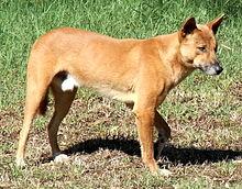 Ein hellbrauner Hund, ein Dingo, von der Seite fotografiert und nach rechts schauend
